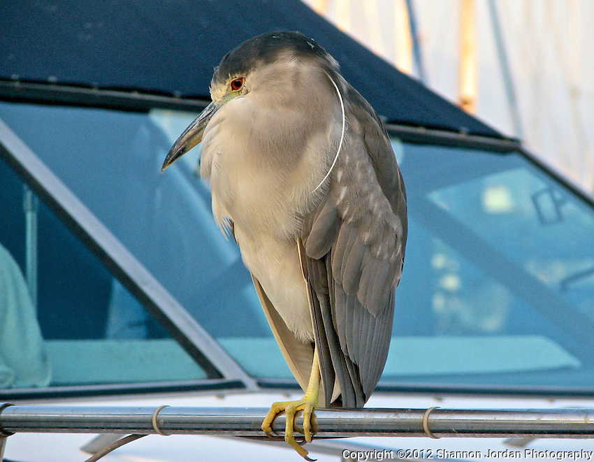 A Night Heron sits perched on a boat mast in the Santa Barbara Harbor The central coast of California is one of the most scenic areas of the United States. The natural beauty and wildlife are abundant and breathtaking. You can find more than 200 species of birds, both land and sea birds, on this scenic and spectacular stretch of California..The National Audubon Society lists Morro Bay and the central coast of California, including Santa barbara as a Globally Important Bird Area. Thousands of migratory birds spend part of the year here..Shorebirds such as marbled godwits, willets, curlews with their long curved bills and tiny sandpipers find a bountiful feast in the mudflats of the estuary at Morro Bay. Black brant geese migrate from spots on the Alaskan shore to feed on the rich eelgrass beds. Fluttering terns, brown pelicans, graceful egrets and herons are also part of the seasonal mix...
