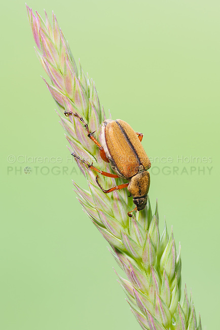 A Rose Chafer (Macrodactylus suspinosus) perches on a plant.