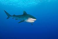 Tiger Shark, Galeocerdo cuvier, West End, Grand Bahama, Bahamas, Atlantic Ocean