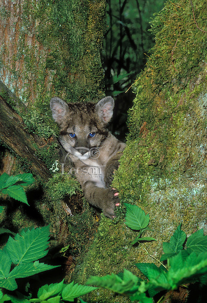 Cougar cub - two weeks old in big-leaf maple tree..Pacific Coast. British Columbia, Canada..(Felis concolor)