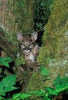 Cougar cub - two weeks old in big-leaf maple tree..Pacific Coast. British Columbia, Canada..(Felis concolor)
