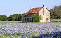 Bluebonnets and old Farmhouse, Marble Falls, Texas