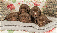 BNPS.co.uk (01202 558833)<br /> Pic: PhilYeomans/BNPS<br /> <br /> Dying breed? - These five adorable puppies could be amongst the last of their breed as shocking new figures reveal the Sussex Spaniel is now Britain's rarest breed of dog.<br /> <br /> Only 34 puppies were registered last year, as modern owners prefer labradoodles, cockapoos and French bulldogs to Britain's traditional native hounds.<br /> <br /> Now the Sussex Spaniel Association are appealing for the Duke &amp; Duchess of Sussex to adopt a puppy and popularise the struggling breed before its to late.<br /> <br /> Association secretary Sheila Applby said &lsquo;We desperately need to raise the profile of the breed before it's too late, and hopefully the Sussex link will strike a chord with the Royal couple and they can lend their considerable support to help save this wonderful and charismatic breed of dog.'