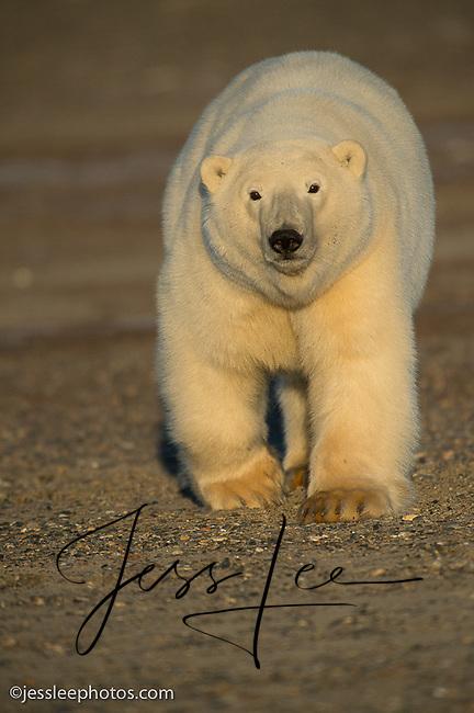 Polar bear near the Beaufort Sea in Alaska
