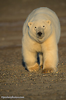 Polar bear near the Beaufort Sea in Alaska