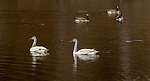 Trumpeter swans and Canada geese on the Chippewa River in northern Wisconsin