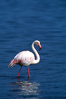 Greater Flamingo, Phoenicopterus ruber, Namibia, Africa