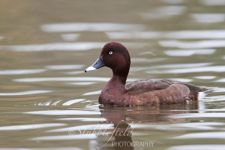 White-eyed Duck (Aythya australis), male swimming in a pond in Rymill Park in Adelaide, South Australia.