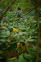 Foraging for mountain vegetables on Mt Gassan, Dewa Sanzan, Tsuruoka-city, Yamagata Prefecture, Japan, October 17, 2012.