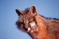 Portrait of a gray fox.