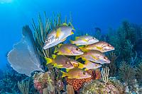 schoolmaster snapper, Lutjanus apodus, schooling, coral reef, Gardens of the Queen, Jardines de la Reina, Jardines de la Reina National Park, Cuba, Caribbean Sea, Atlantic Ocean