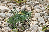 Wanstschrecke, Männchen, Polysarcus denticauda, Orphania denticauda, Large saw tailed bush cricket, Large saw-tailed bush-cricket, male, Tettigoniidae