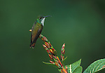 Sapphire Throated Hummingbird (Lepidopyga coeruleogularis - female animal - birds small resting perch soft.Trinidad....