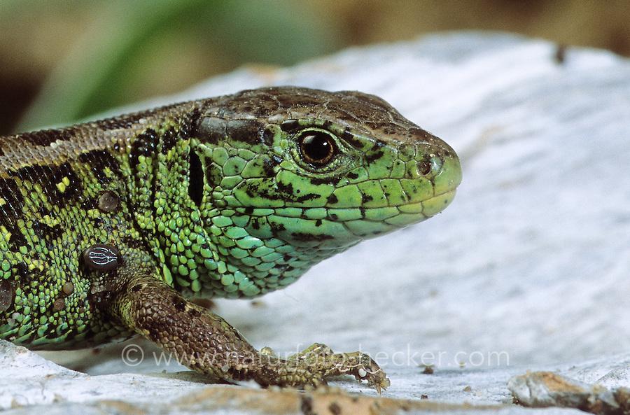Zauneidechse, Zaun-Eidechse, Männchen, Portrait, Lacerta agilis, sand lizard