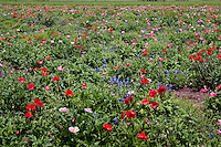 Fields of flowers growing at the Wildseed Farm, just outside of Fredericksburg Texas.