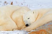 01874-13107 Polar Bears (Ursus maritimus) cub sleeping next to mother Churchill Wildlife Management Area, Churchill, MB