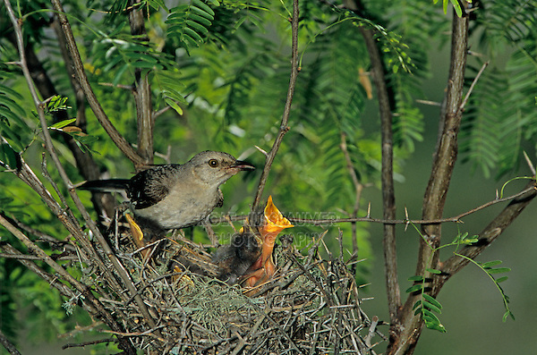 Northern Mockingbird, Mimus polyglottos,adult at nest feeding young, Welder Wildlife Refuge, Sinton, Texas, USA, June 2005