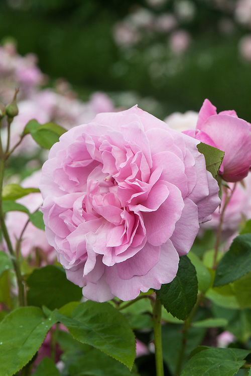 Rosa Mary Rose ('Ausmary'), late June. An upright shrub rose to 1.2m tall, with fragrant, cupped, double rose-pink flowers 8-9cm across in summer and autumn. Introduced by David Austin in 1983.
