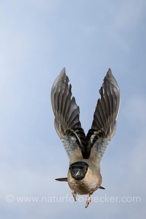 Gimpel, Dompfaff, Weibchen, Flug, Flugbild, fliegend, Pyrrhula pyrrhula, Eurasian bullfinch, bullfinch, female, flight, flying, Bouvreuil pivoine