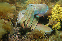 Giant Cuttlefish, Sepia apama, male guarding female at breeding aggregation with smaller male sneaking under the males defences, Point Lowly, Whyalla, South Australia, Australia, Spencer Gulf, Southern Ocean