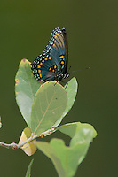 Red-spotted Purple, Limenitis arthemis, Madera Canyon, Arizona, USA, May 2005