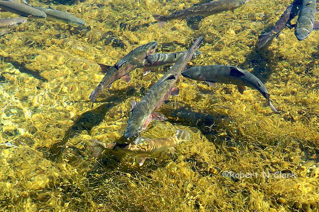 Rainbow Trout at Hot Creek Fish Hatchery