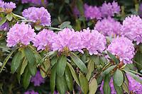 Rhododendron, Zierstrauch im Garten, Rhododendron spec.