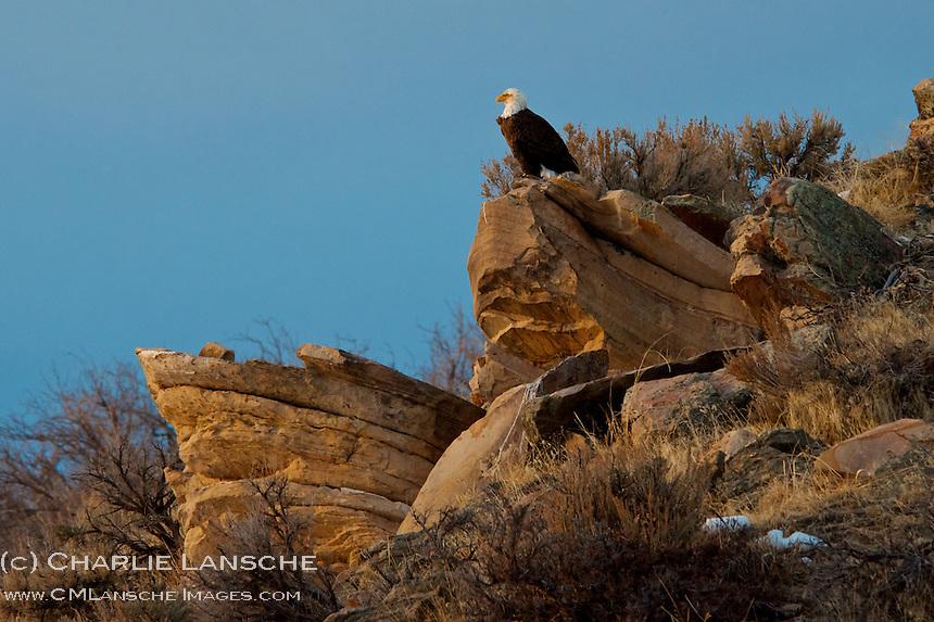 Bald eagle keeps a keen eye open for danger after feeding on a deer carcass. Summit County, Utah.