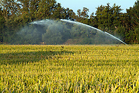 Sprinkler in a corn field spraying water, Alzonne, Carcassonne, France.