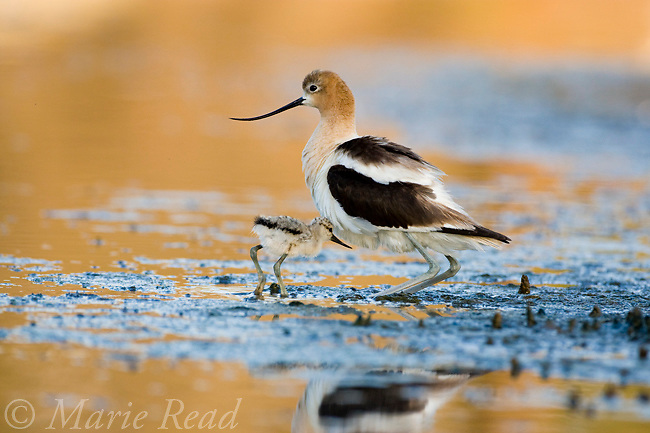 American Avocet (Recurvirostra americana), adult squats as chick approaches to be brooded, Orange County, California, USA
