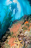 Kelp Forest towers above a rocky pinnacle. Pinnacles Marine Protected area, Carmel Bay, CA