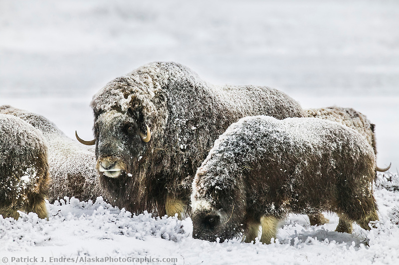 Musk Oxen, coastal plains of Alaska's Arctic,