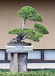 "Photo shows ""Chihiro"", a Japanese five-needle pine  tree  on display at the Saitama Omiya Bonsai Museum of Art in Saitama, Japan on 15 Aug. 2011..Photographer: Robert Gilhooly"