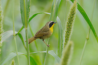 Common Yellowthroat (Geothlypis trichas) adult perched on Manchurian wild rice (Zizania latifolia), Port Aransas, Mustang Island, Coastal Bend, Texas Coast, USA