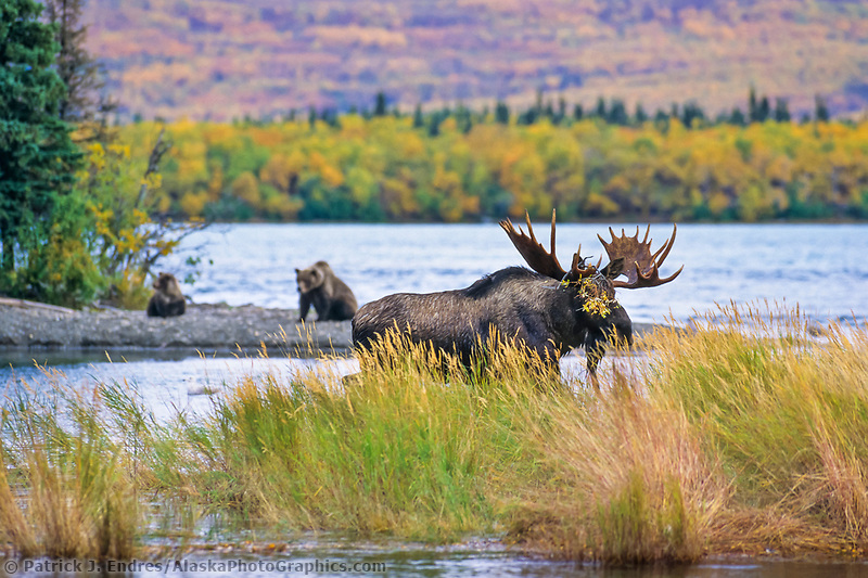 Brown bear sow and spring cub watch bull moose walk through Brooks river, Naknek lake, Katmai National Park, Alaska