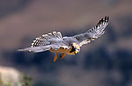 Lanner falcon, Falco biarmicus, in flight, Giant's Castle reserve, Drakensberg Mountains, South Africa
