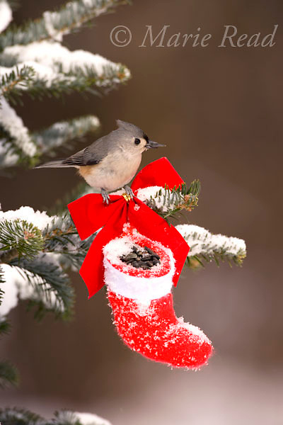 Tufted Titmouse (Baeolophus bicolor) takes a sunflower seed from Christmas stocking, New York, USA