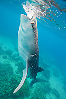 A whale shark, Rhincodon types, with propeller scars on its head feeds in the waters of Oslob, Philippines