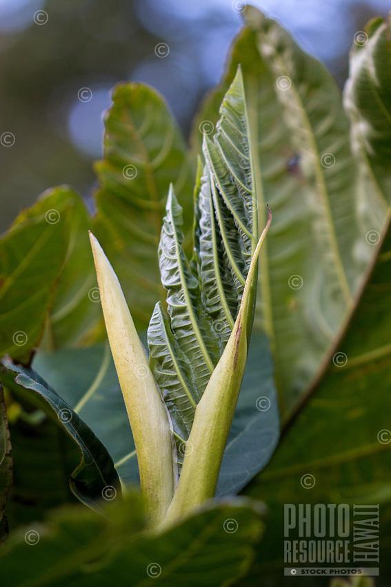 A breadfruit leaf is born in Kalihi, O'ahu.