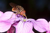 Feld-Schnabel-Schwebfliege, Schnabel - Schwebfliege, Schnabelschwebfliege, Gemeine Schnauzenschwebfliege, Schnauzen-Schwebfliege, Rhingia campestris, Blütenbesuch, Nektarsuche, Bestäubung, Common Snout-hoverfly