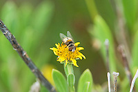 341500001 a wild syrphid fly eristalis albifrons pusillus perched on small flower in jasper county texas