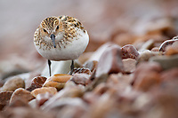 Little Stint (Calidris minuta) in breeding plumage. Varanger Peninsula, Norway. June.