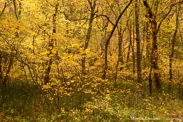 Autumn oak trees in Oak Creek Canyon, Coconino National Forest, Sedona, Arizona