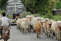 Asien Suedasien Indien Westbengalen , Kuhherde blockiert den Strassenverkehr - Transport Infrastruktur xagndaz | .South asia India Westbengal , cow herd blocks road  - transport infrastructure