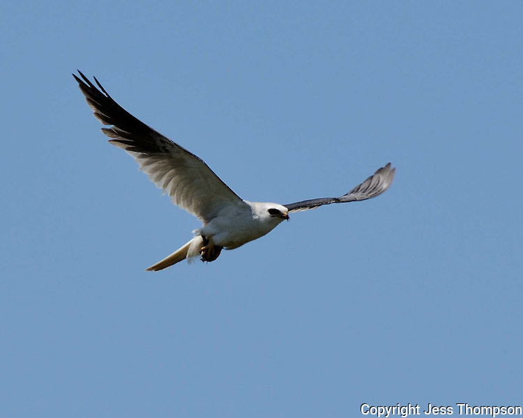 White-tailed Kite, Laguna Atascosa Wildlife Refuge, Texas