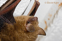 0411-1011  Little Brown Bat (syn. Little Brown Myotis), Myotis lucifugus  © David Kuhn/Dwight Kuhn Photography.