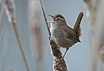 Marsh Wren in Columbia Wetlands, Radium Winter wren singing in bulrushes of a marsh.