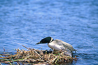 Common Loon (Gavia immer) with Eggs sitting on Nest on Lake, BC, British Columbia, Canada