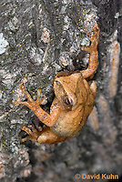 0302-0903  Spring Peeper Frog Climbing Tree Bark, Pseudacris crucifer (formerly: Hyla crucifer)  © David Kuhn/Dwight Kuhn Photography
