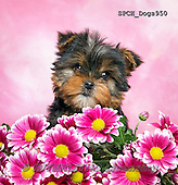 Xavier, ANIMALS, REALISTISCHE TIERE, ANIMALES REALISTICOS, dogs, photos+++++,SPCHDOGS950,#a#